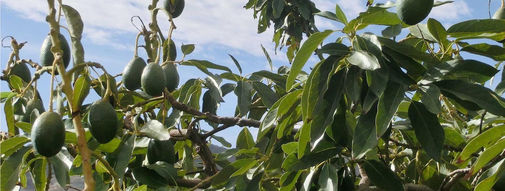 manavgat avokado